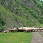 Road to Shatili - Sheep