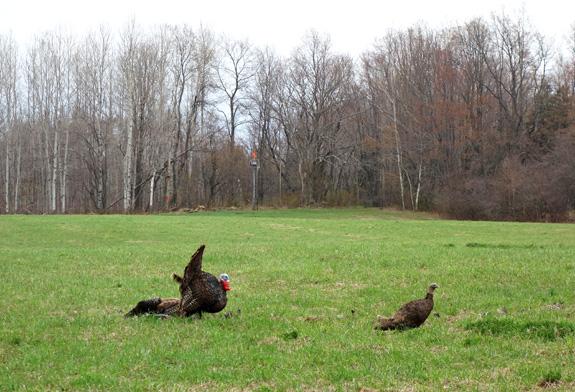 Turkey Hunting - New York