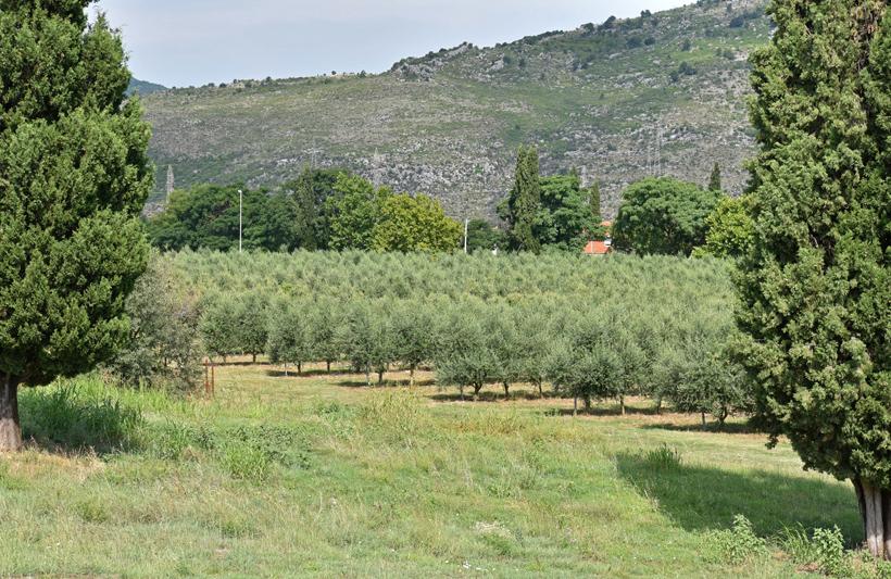 Montenegro - Plantaže - Olive Trees