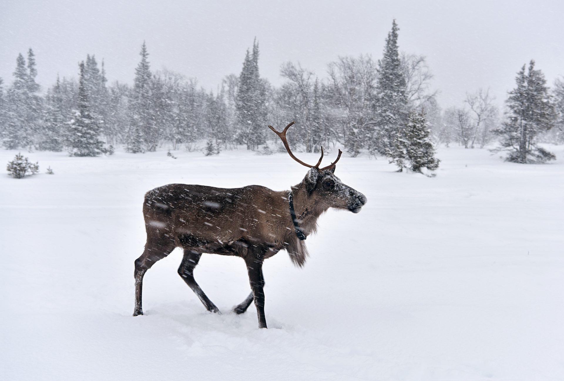 Kola Peninsula - Lovozero - Reindeer